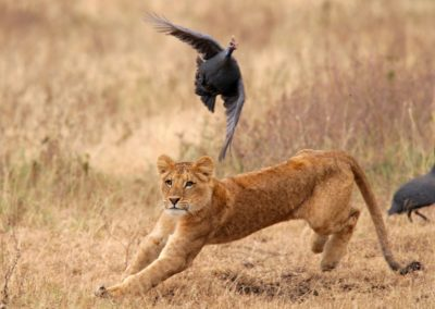 Catch me if you can at Ngorongoro Crater with BJORN AFRIKA ©