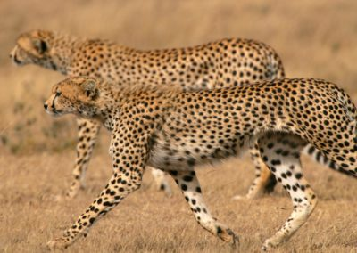 Cheetah Brothers Serengeti with BJORN AFRIKA