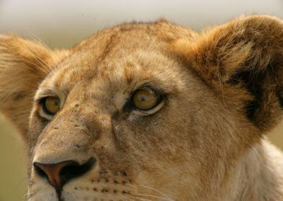 Lions in the Serengeti on Safari with BJORN AFRIKA ©