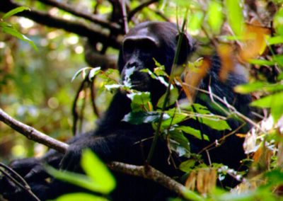 Chimpanzee Trekking with BJORN AFRIKA ©