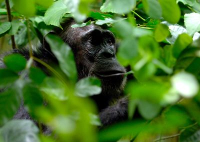 Chimpanzee Trekking with BJORN AFRIKA at Greystoke Mahale