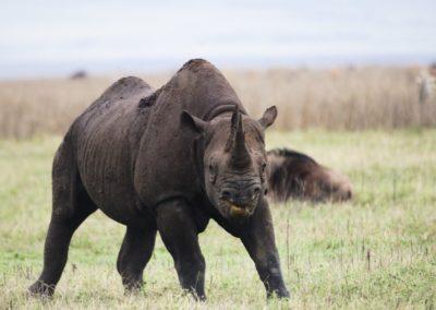 Rhino at Ngorongoro Crater on Safari with BJORN AFRIKA ©