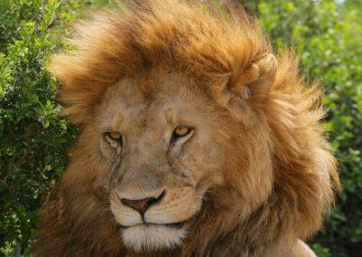 Lions of the Serengeti on Safari with BJORN AFRIKA ©
