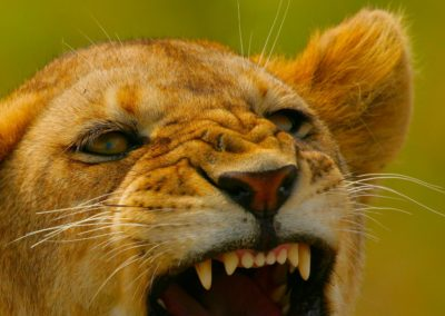 Angry young Lion in the Serengeti on Safari with BJORN AFRIKA